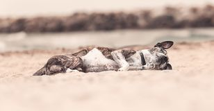 Dog lying down at beach Royalty Free Stock Photography