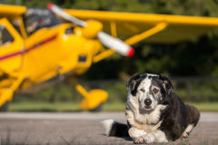 Dog lying down in front of airplane. Border Collie mix breed dog lying down on runway in front of yellow plane with propller and wing looking relaxed wise Stock Image
