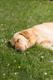 Dog lying down on the grass and napping Royalty Free Stock Image