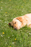 Dog lying down on the grass and napping Stock Images