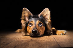 Dog lying down looking up Stock Photography