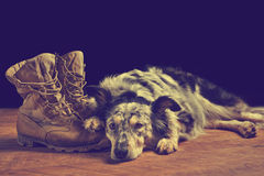 Dog lying down next to combat boots. Border collie / Australian shepherd mix dog, pet lying on tan veteran, military, combat, work, construction boots looking Royalty Free Stock Images
