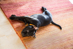 Dog lying down on a rug strteched out relaxing. Royalty Free Stock Image
