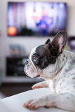 Dog lying down at the TV Royalty Free Stock Images