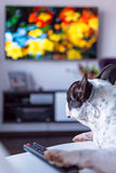 Dog lying down at the TV Royalty Free Stock Photography