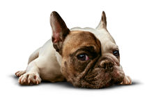 Dog Lying Down Royalty Free Stock Photo