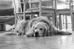 Dog lying on the floor. A golden retriever lying on the floor Royalty Free Stock Image