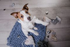 The dog is lying on the floor. Jack Russell Terrier on a blanket. The dog is lying on the floor. Jack Russell Terrier with toys stock images