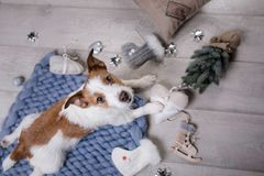The dog is lying on the floor. Jack Russell Terrier on a blanket. The dog is lying on the floor. Jack Russell Terrier with toys stock photo