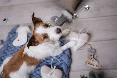 The dog is lying on the floor. Jack Russell Terrier on a blanket. The dog is lying on the floor. Jack Russell Terrier with toys stock photography