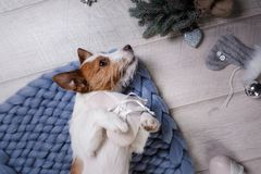 The dog is lying on the floor. Jack Russell Terrier on a blanket. The dog is lying on the floor. Jack Russell Terrier with toys stock photos