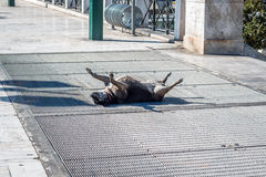 Dog lying on the floor and sunbathing. In Athens, Greece Stock Photos