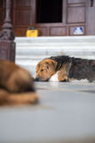 Dog lying on the floor to rest Royalty Free Stock Image