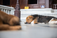 Dog lying on the floor to rest Stock Photo