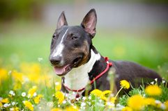 Dog lying on a flower field Royalty Free Stock Photos