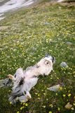 The dog is lying in a flower field royalty free stock photo