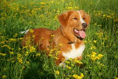 Dog is lying in a flower field Stock Images