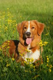 Dog is lying in a flower field Royalty Free Stock Image