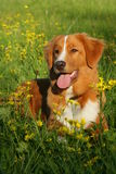Dog is lying in a flower field Royalty Free Stock Photography