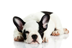 Dog lying french bulldog isolated on white background Stock Photography