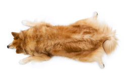 Dog lying in the frog position Royalty Free Stock Photography