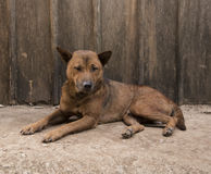 Dog lying in front view near wood wall. stock photo