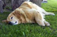 Dog lying in the grass. Royalty Free Stock Photo