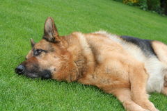 Dog lying on grass Royalty Free Stock Photo