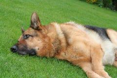 Dog lying on grass Royalty Free Stock Photo