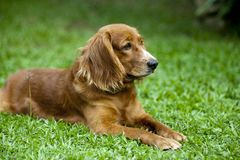 Dog lying on grass royalty free stock images