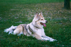 Dog lying on the grass Royalty Free Stock Photography