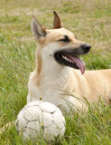 Dog lying in the grass with ball. Dog playing with a ball lying in the grass Royalty Free Stock Photo