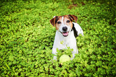 Dog lying in the grass with ball royalty free stock photography