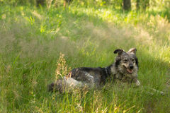 Dog lying in the  grass. Big dog lying in the tall grass Royalty Free Stock Image