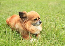Dog lying in grass Royalty Free Stock Images