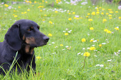 Dog lying in the grass Stock Photos