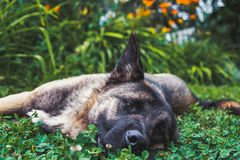 Dog lying in the grass royalty free stock photo