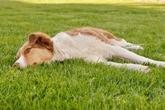 Dog lying in the grass. Dog with orange reddish fur lying in the grass Stock Image