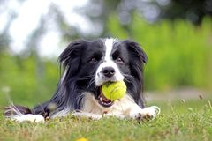Dog is lying in grass in park. The breed is Border collie. Background is green. He has a tennis ball in the mouth. The dog is playing and he is happy adorable stock images