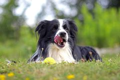 Dog is lying in grass in park. The breed is Border collie. Background is green. He has a tennis ball in the mouth. The dog is playing and he is happy adorable royalty free stock image
