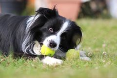 Dog is lying in grass in park. The breed is Border collie. Background is green. He has a tennis ball in the mouth. The dog is playing and he is happy adorable stock photo
