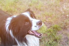 Dog is lying in grass in park. The breed is Border collie. Background is green. He has a tennis ball in the mouth. Dog is playing. With his master. There is stock photography