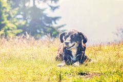 Dog lying on grass Stock Images