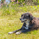 Dog lying on grass Royalty Free Stock Photography