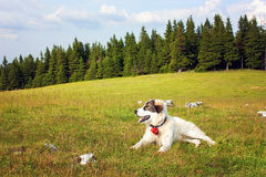 Dog lying in the grass resting. Beautiful shepherd dog lying in the grass resting Stock Photo