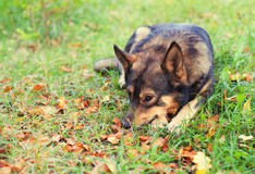 Dog lying on the grass Stock Image