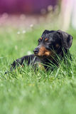 Dog lying in the grass. Small brown dog lying in the grass and resting Royalty Free Stock Image