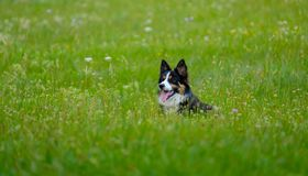 Dog lying in the grass stock images