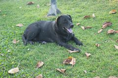 Big black dog lying on green grass stock illustration