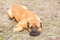 Dog lying on ground Royalty Free Stock Images